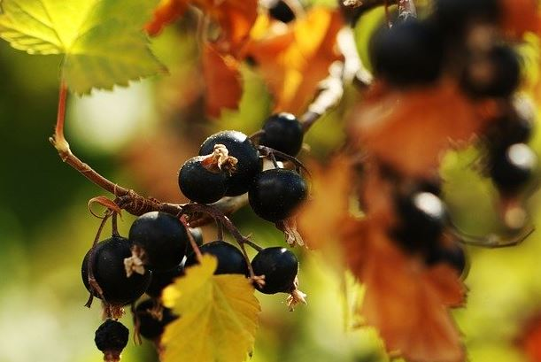 What is blackcurrant juice made from