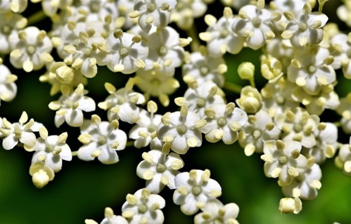 wild elderflower for cordials
