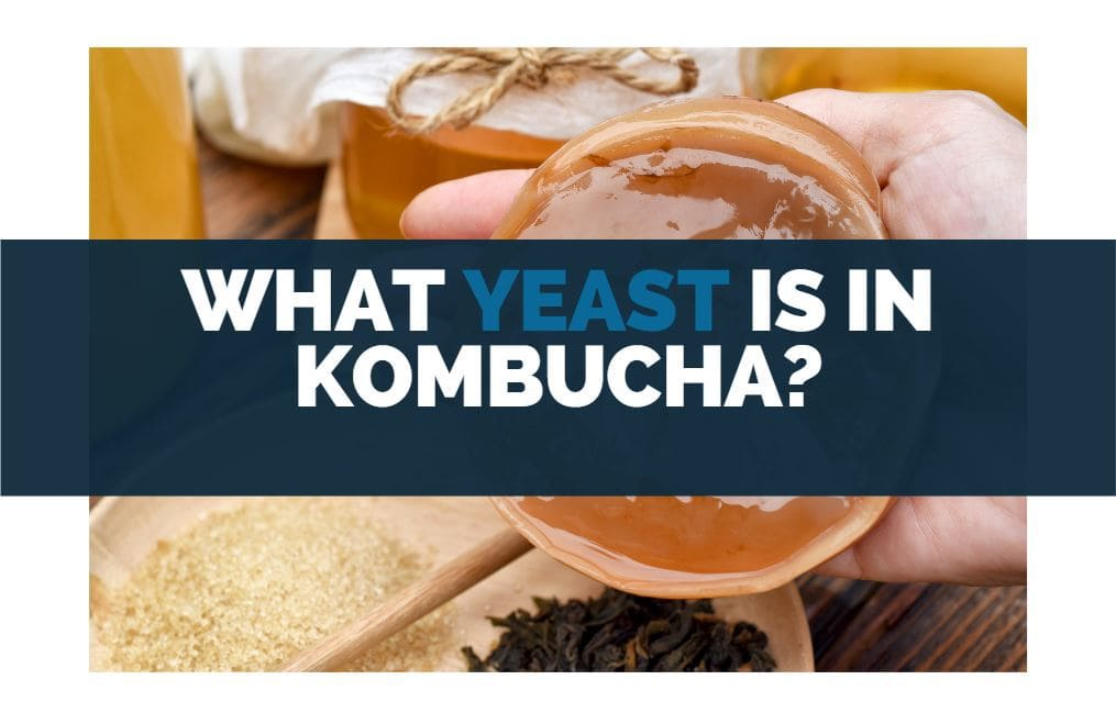 what yeast is in kombucha