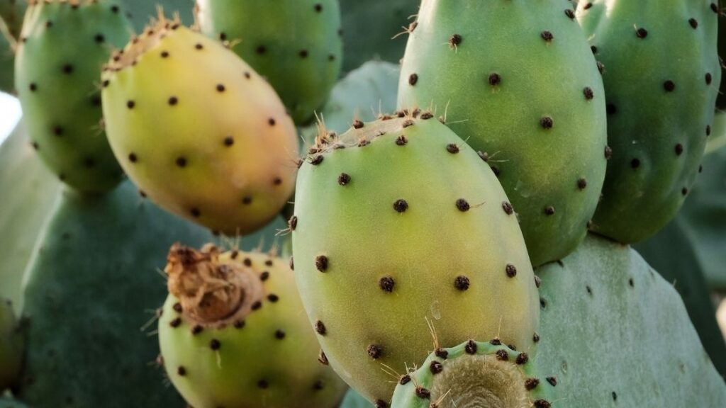 What is Prickly Pear